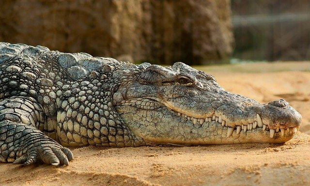 ležící krokodýl